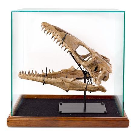 Crânio do dinossauro (mosassauro) que pertencia a Russell Crowe e vai a leião - Divulgação
