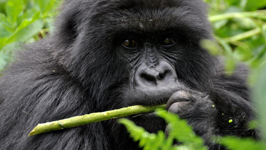 Imagem de arquivo de um gorila na Ruanda; em Atlanta, 13 animais tiveram teste positivo em zoológico - A_I_S/Getty Images/iStockphoto