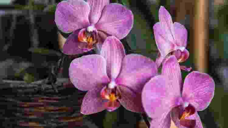 Orquídea - Reprodução/Unsplash - Reprodução/Unsplash