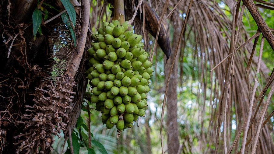 Acuri volta a dar frutos no Pantanal - Gabriela Schuck/ Divulgação Sesc Pantanal