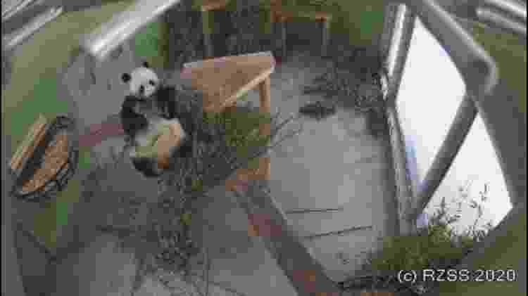 Câmera mostra panda se alimentando no Edimburgh Zoo - Divulgação