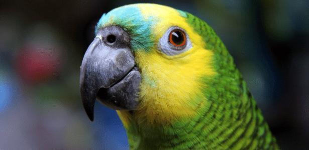 Como funciona o comércio ilegal que transforma papagaios livres em pets -  13/08/2020 - UOL ECOA