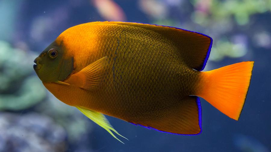 Clarion angelfish (Holacanthus clarionensis). - Getty Images/iStockphoto