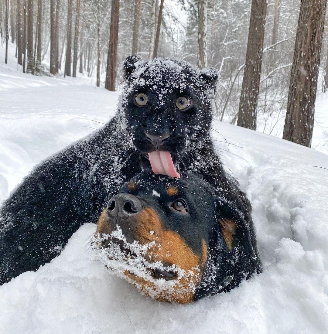 """Pantera rejeitada pela mãe conquista internet ao lado do """"irmão"""" Rottweiler  - 12/03/2021 - UOL Nossa"""