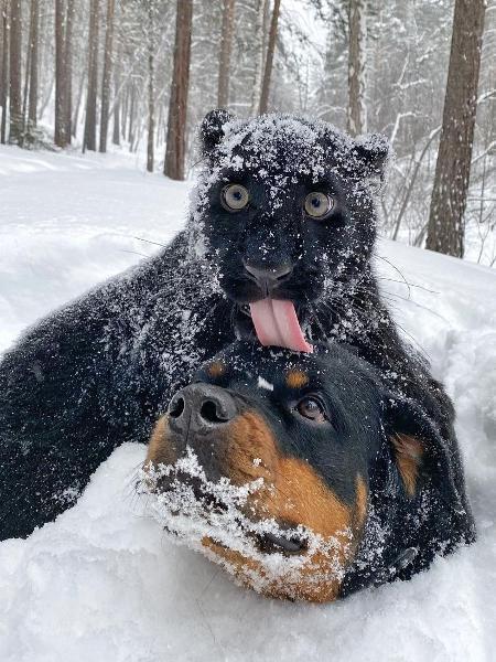 Pantera Luna ao lado do Rottweiler chamado Venza - Reprodução/Instagram