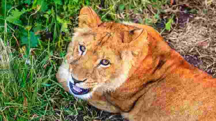 Filhote de leão branco no santuário Jukani - Getty Images - Getty Images