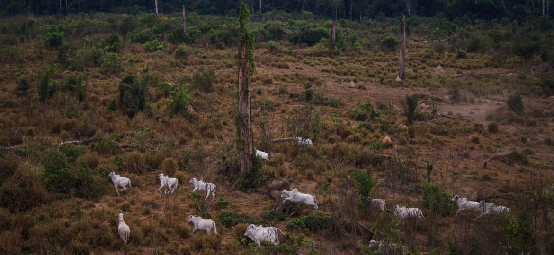 Gado na Floresta Nacional do Jamanxim, no Pará.  - Bernardo Camara.