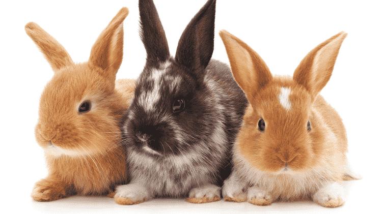Nos coelhos e em outras espécies, é a atividade sexual que desencadeia a ovulação - Getty Images via BBC