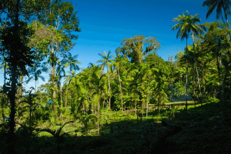 No sistema agroflorestal implantado no território Guarani, a juçara cresce em meio à vegetação nativa da Mata Atlântica - Xavier Bartaburu - Xavier Bartaburu