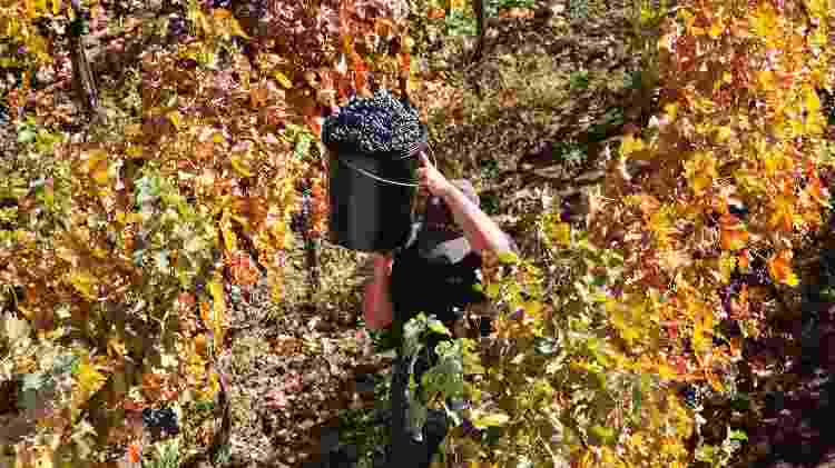 A colheita de uvas para a produção do vinho da Alyan Wines, em Pirque, no Chile - Divulgação - Divulgação