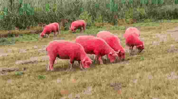 Ovelhas rosa no Festival Latitudes, no Reino Unido - Divulgação