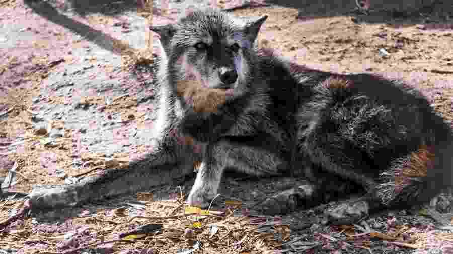 Shade em um santuário para cães-lobos - Reprodução/Facebook