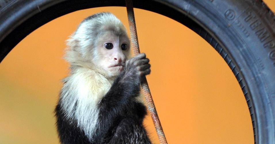 31.mai.2013 - Mally, o macaco-prego que pertencia ao cantor Justin Bieber, foi levado para um parque alemão. O chefe do parque, Fabrizio Sepe, disse que o local possui muitas árvores e que será difícil encontrar Mally por lá