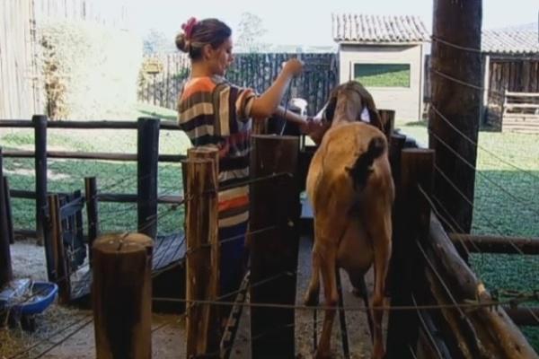 11.jul.2013 - Ainda de ressaca, Andressa cuida das cabras
