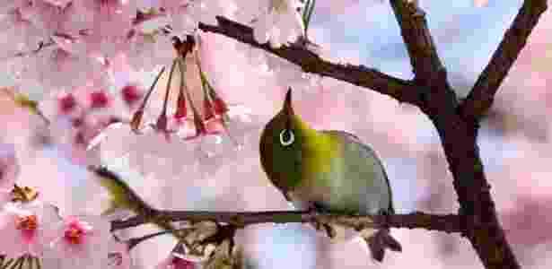 A cerejeira japonesa é uma árvore de bela florada e resistente ao frio que pode ser plantada em quintais - Yoshikazu Tsuno/ AFP