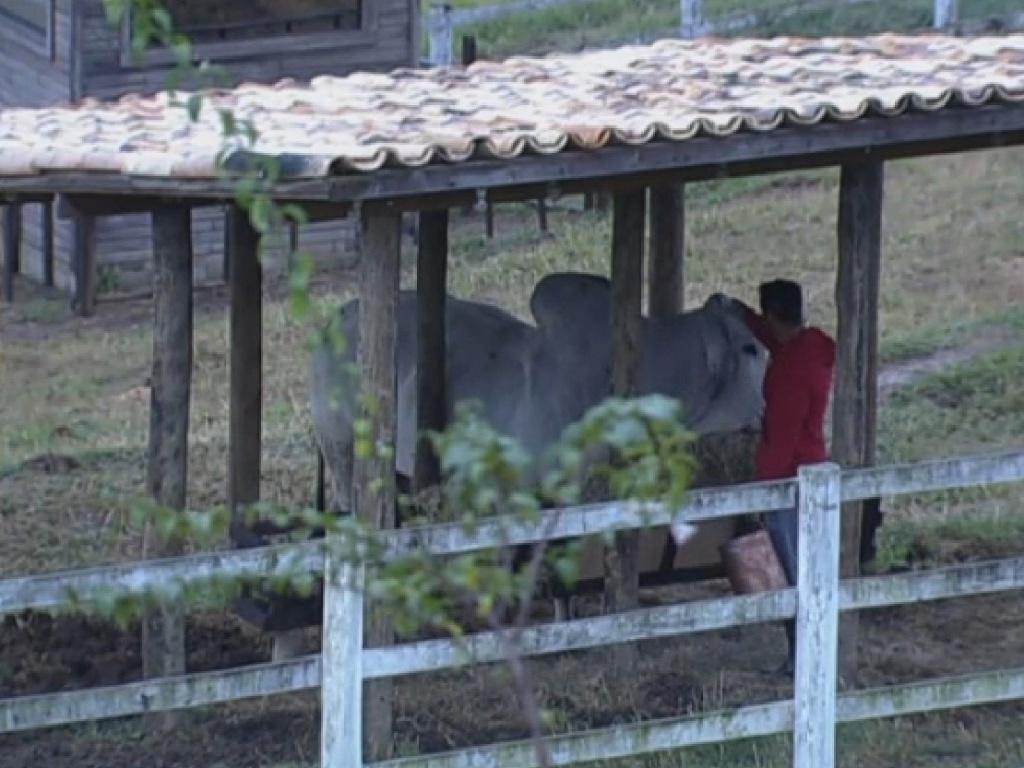 23.jul.2013 - Marcos Oliver cuida do touro Rubinho