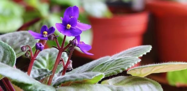 Violetas se adaptam bem aos ambientes internos, mas precisam de luminosidade e substrato drenado - Getty Images
