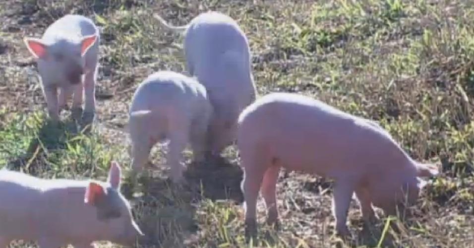 30.jul.2013 - Porcos brincam, enquanto Bárbara limpa curral
