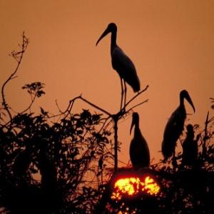 Tuiuiús recolhem-se ao anoitecer no Pantanal