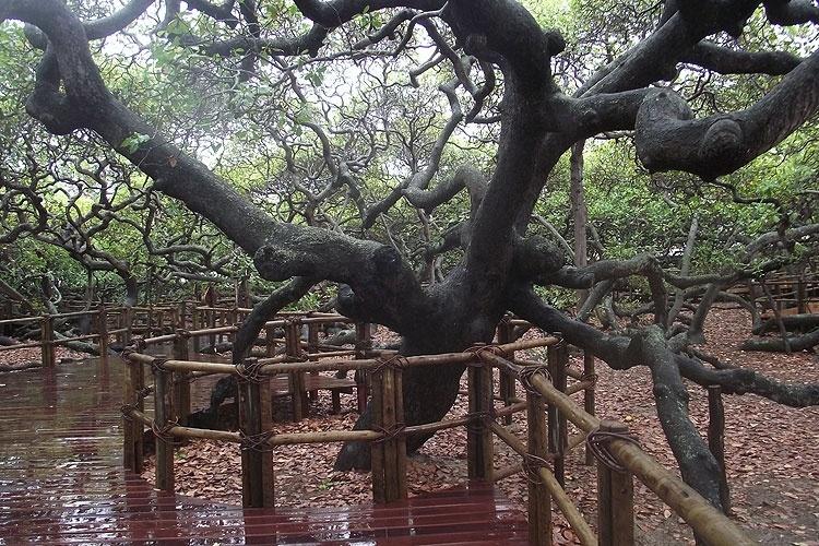 Em Pirangi do Norte, cercas protegem o tronco do 'maior cajueiro do mundo', registrado no Guiness Book