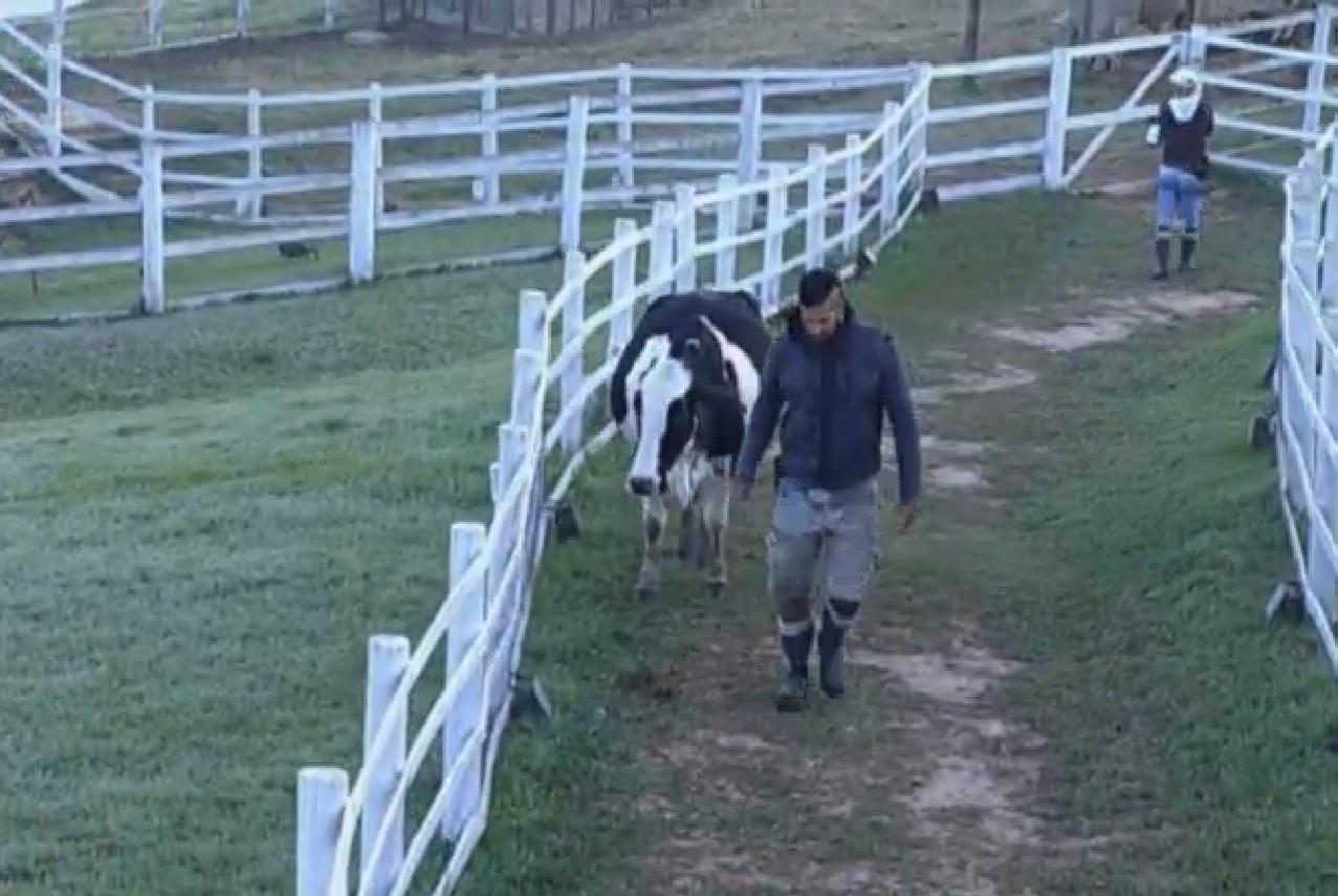 06.ago.2013 - Beto Malfacini leva vaca para estábulo