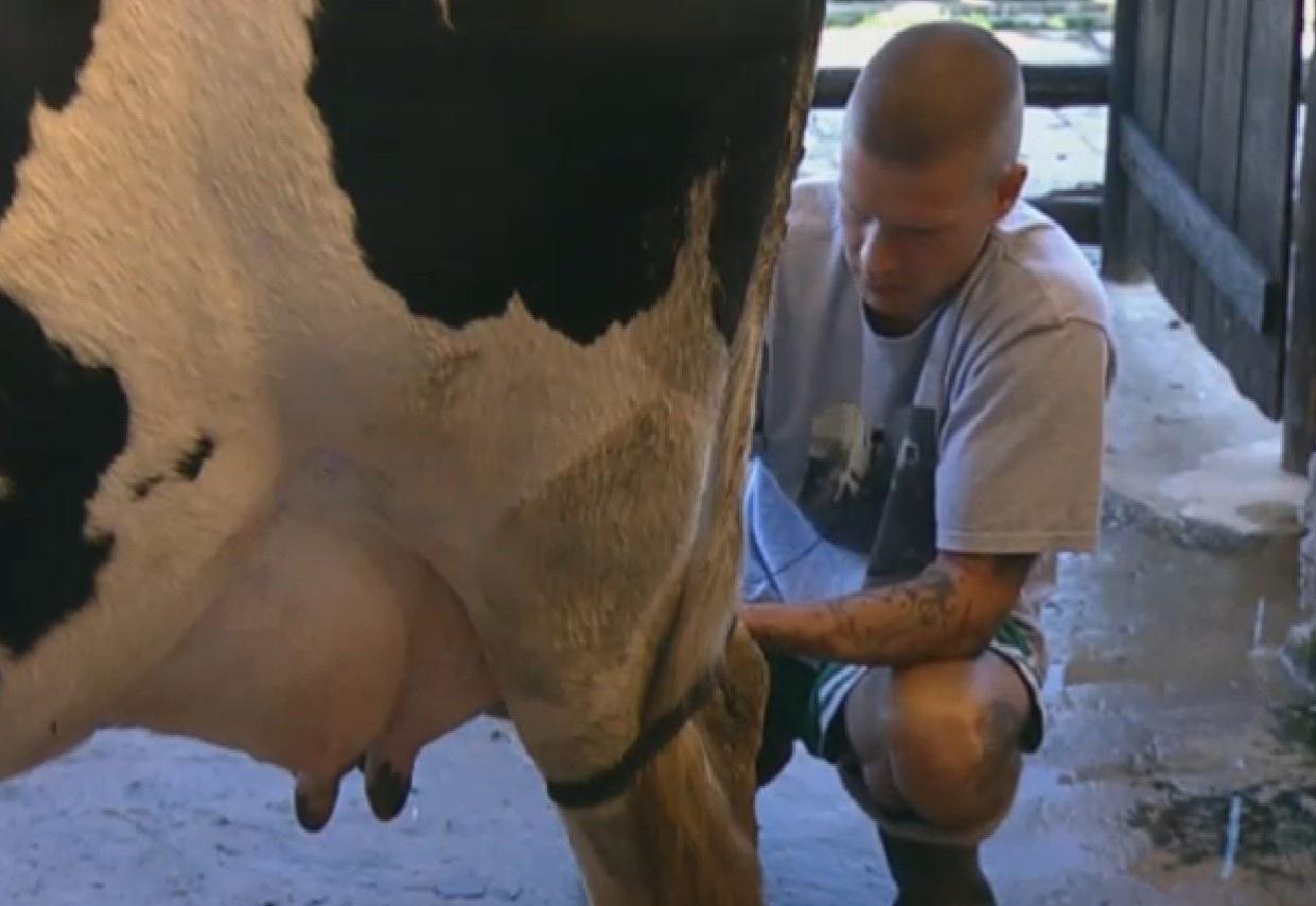 29.ago.2013 - Mateus Verdelho tira leite da vaca
