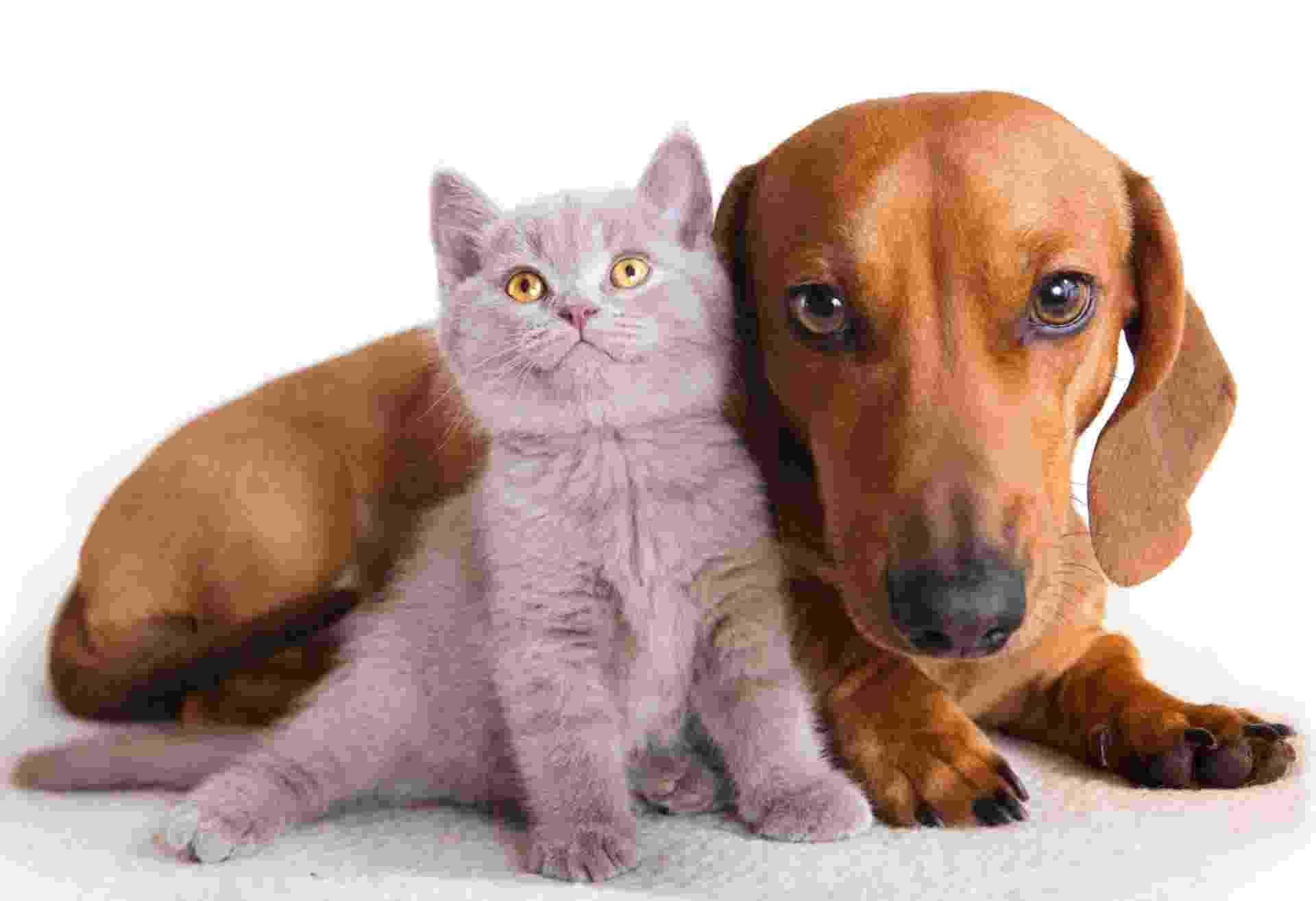 O Dachshund ou Teckel é um cão de pequeno porte que pode viver em apartamentos, mas o exercício é indispensável, em especial, para que se evite a obesidade do animal. Embora ciumento e dominante em relação aos outros cães, a raça se adapta a lares com gatos se acostumados desde filhotes I Fonte: Pet Center Marginal - Getty Images
