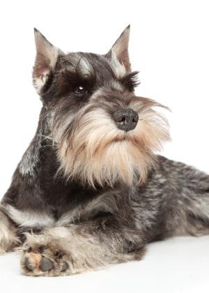 Schnauzer é a raça da cadela que teria sido agredida por outro cão em uma praça de Ribeirão Preto (SP)