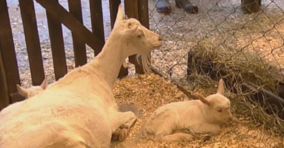 03.set.2013 - Depois de receberem visita do veterinário, cabritinhos dormem