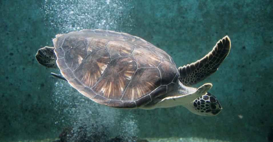 Tartaruga marinha do Aquário Natal, que fica na praia da Redinha em Natal (RN)