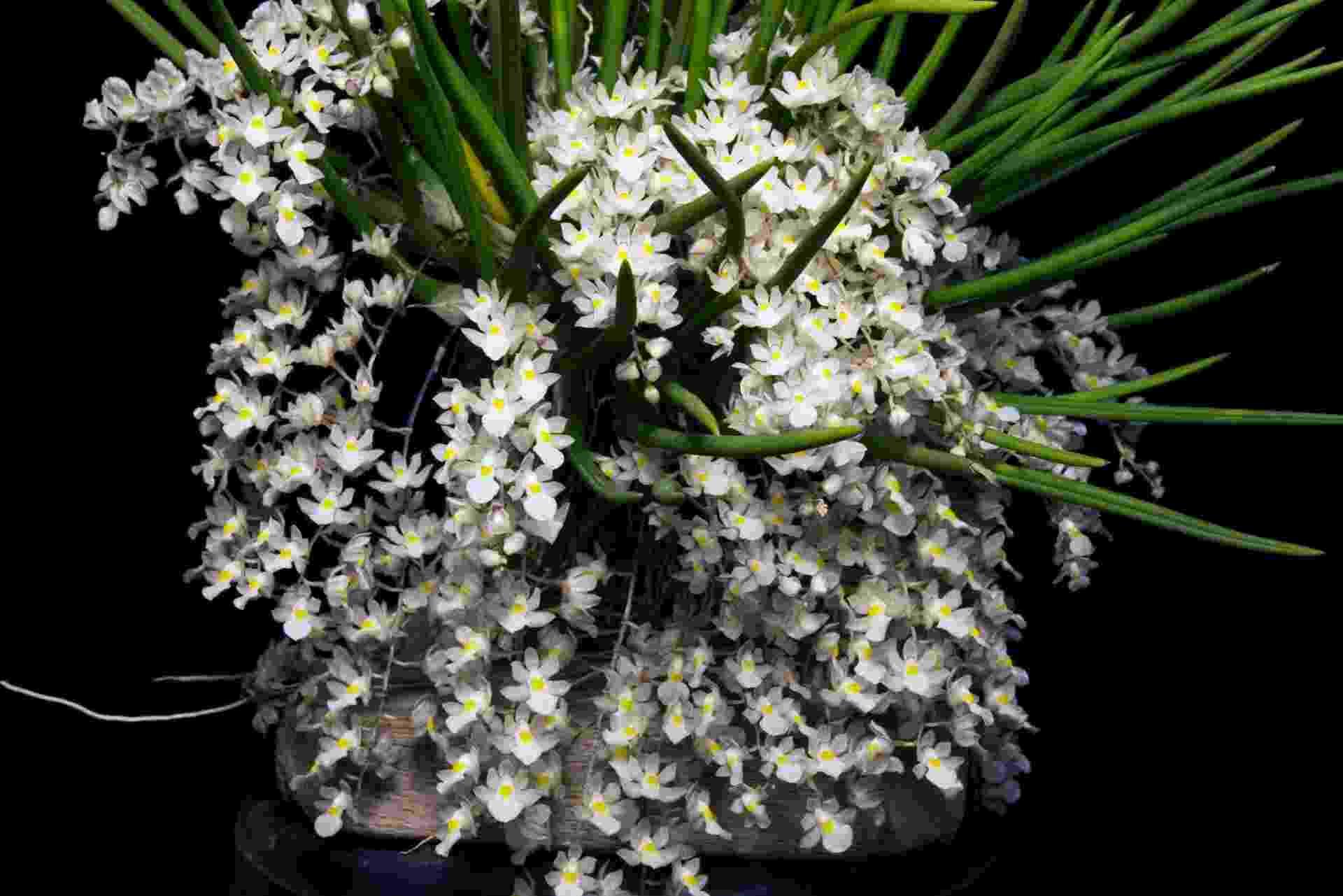 Capanemia superflua (micro-orquídea) - Divulgação