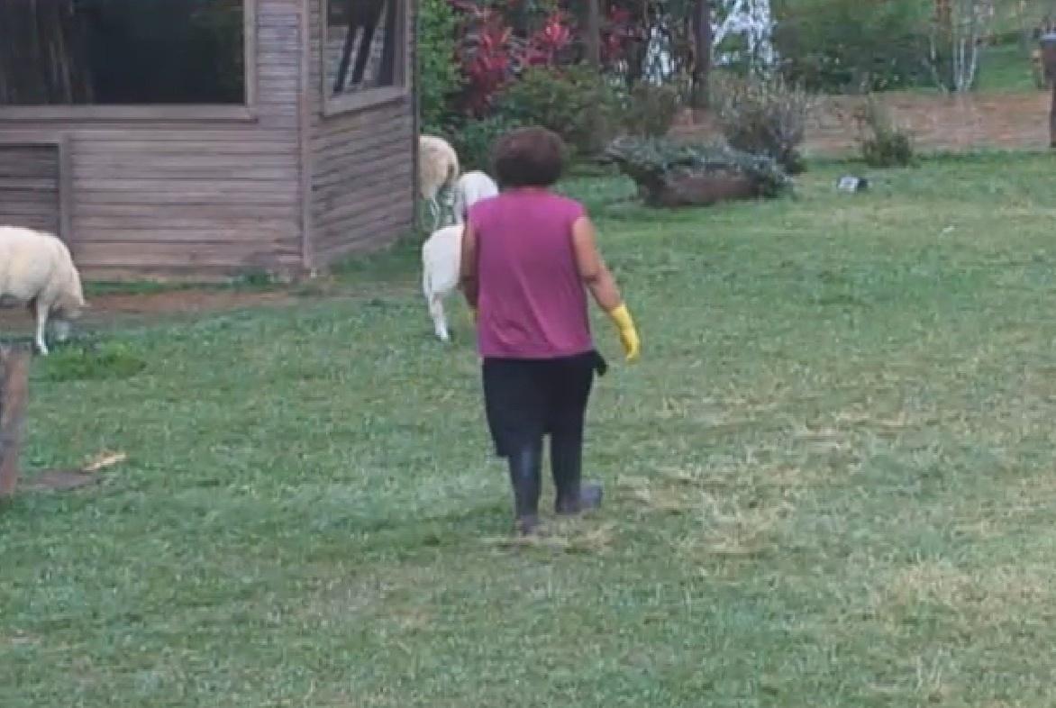 19.set.2013 - Gominho cantou e conversou com as ovelhas pela manhã