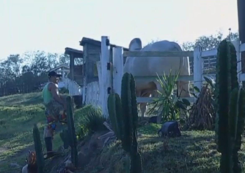 21.set.2013 - Marcos Oliver se assustou com o boi Rubinho, que não queria se separar da vaca Lua