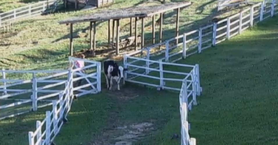 25.set.2013 - Para conseguir retirar vaca de curral, Oliver teve que conversar com Lua