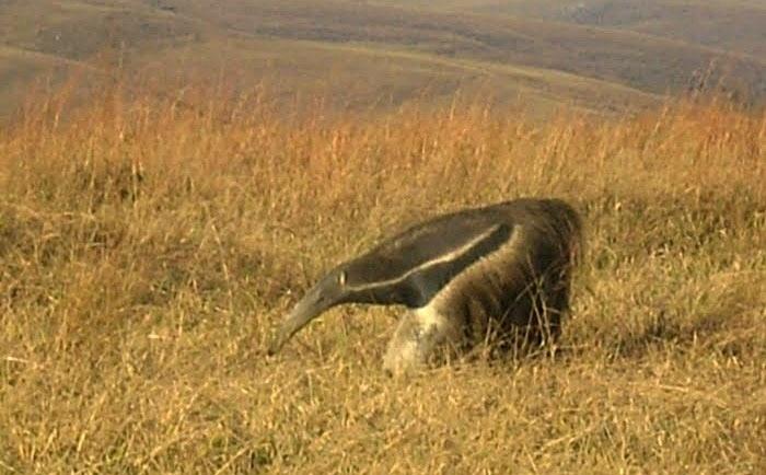 Tamanduá-bandeira é um animal típico da fauna da Serra da Canastra