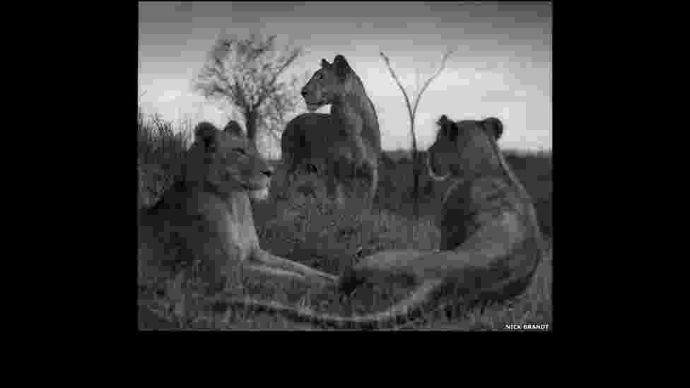 """Círculo de leões no Serengeti, 2012, faz parte do livro """"Across the Ravaged Land"""" ('Pela Terra Devastada', em tradução livre) - Nick Brandt"""