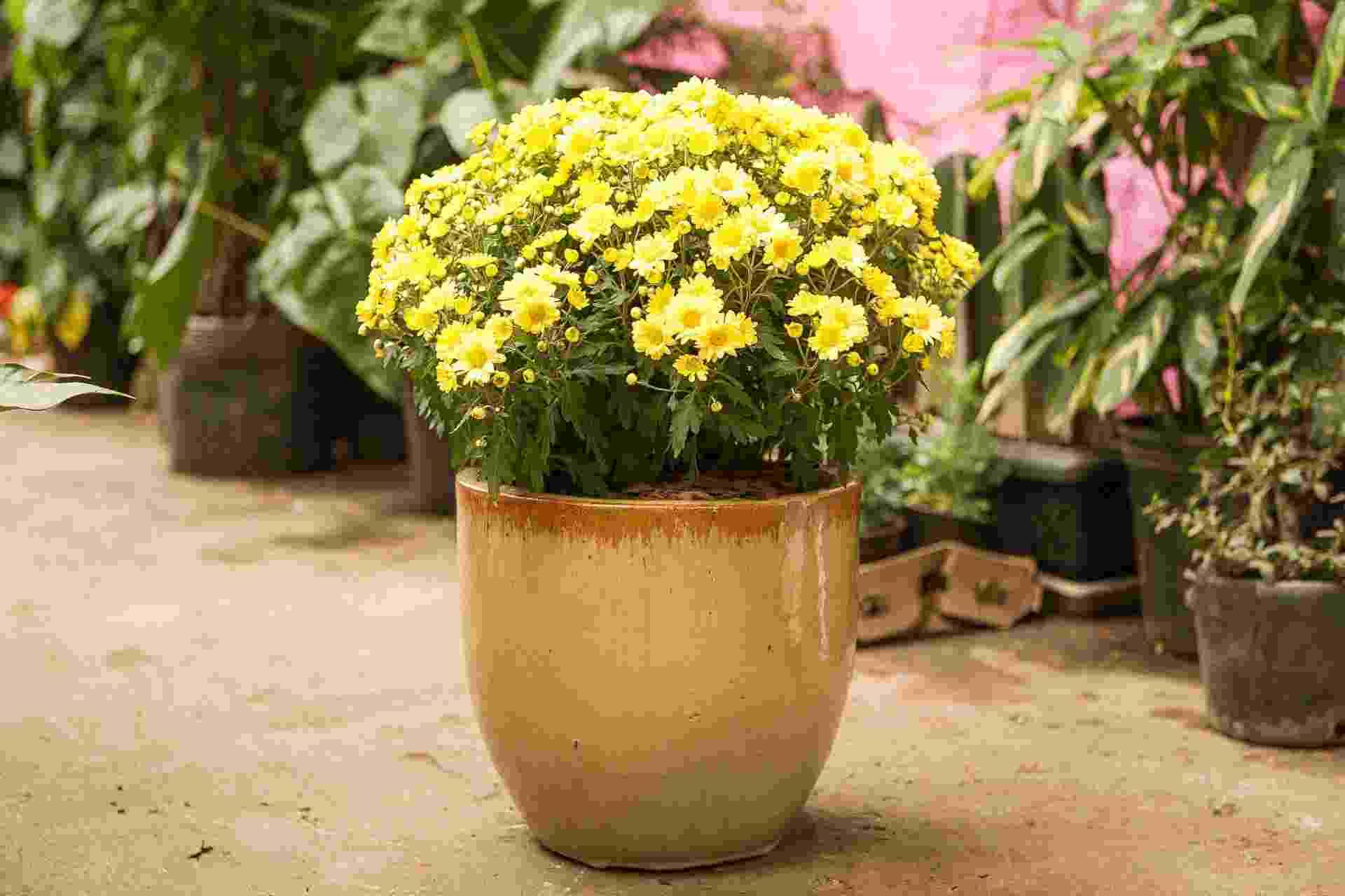 A manutenção da planta é bem simples: rega um dia sim, um dia não com um litro de água. Só ague a terra para que as flores fiquem frescas por mais tempo. Ao murcharem, arranque-as. Isso auxiliará na florada seguinte. Faça adubação com uma colher de sopa de NPK (10_10_10), uma vez ao mês, e as suas margaridas ficarão sempre fortes  CRÉDITOS: Silvana Maria Rosso (reportagem visual e texto)/ Garden Show (execução, plantas e ambientação - www.gardenshow.com.br) - Rodrigo Capote/ UOL