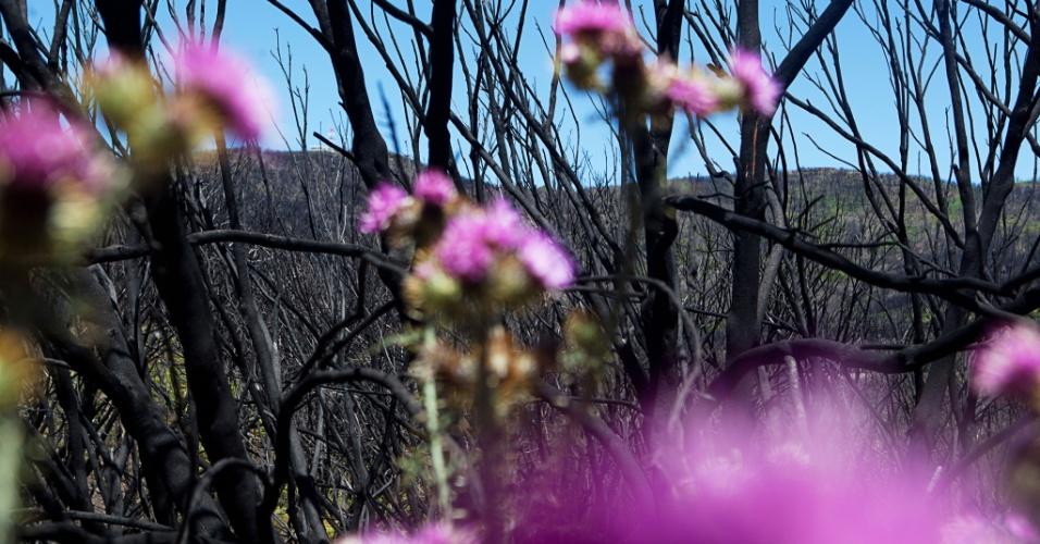 Plantinhas voltam a nascer no Parque Nacional de Garajonay, nas Ilhas Canárias, depois de incêndios criminosos que destruíram quase 20% da área ambiental