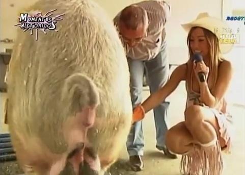 Sabrina Sato coleta sêmen de um porco durante uma edição do