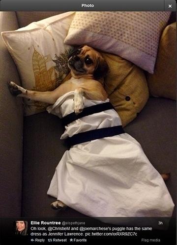 """12.jan.2014 - Usuária do Twitter mostra foto de cão vestido como a Jennifer Lawrence no Globo de Ouro. """"O pug tem o mesmo vestido que a Jennifer Lawrence"""", escreveu"""