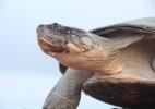 Saiba como cientistas estudam conversas entre as tartarugas-da-Amazônia