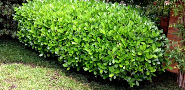 """A clusia (Clusia fluminensis) é um arbusto com folhas """"gordinhas"""" que pode alcançar sete metros de altura - Divulgação"""