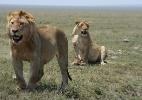Fotógrafo e cinegrafista acompanham o dia a dia de leões; saiba como é