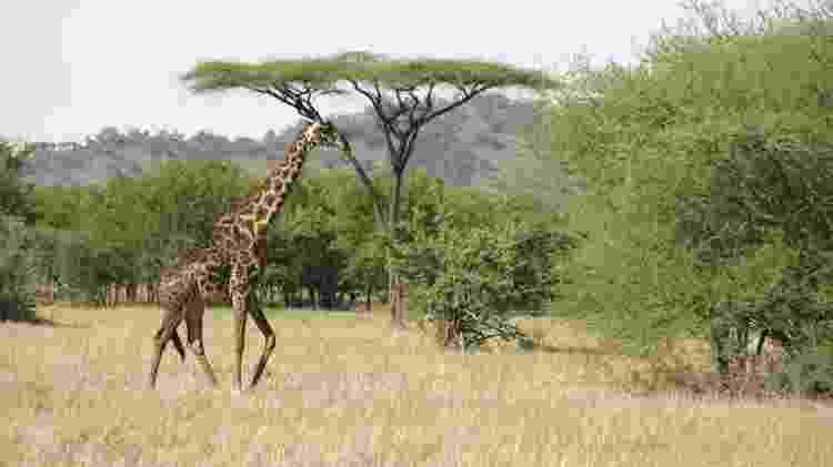 Girafa no parque Serengeti, na Tanzânia - Thinkstock - Thinkstock