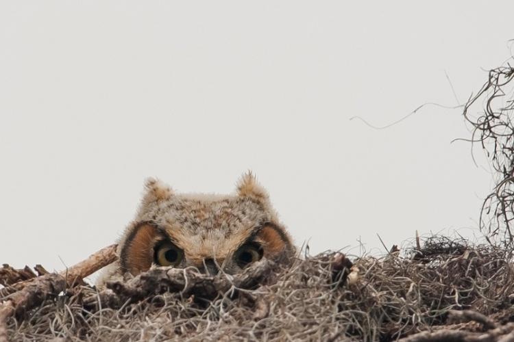 """Graham McGeorge achou que estava diante de um ninho vazio até que apareceu esta coruja, fotografada na Flórida (EUA). """"Dois belos e brancos chifrinhos apareceram sobre os galhos, e daí vi os dois belos olhos da coruja."""""""