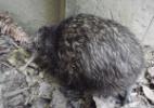 Menor kiwi do mundo nasce na Nova Zelândia; conheça
