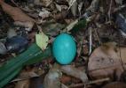 Ave que bota ovo azul está ameaçada de extinção; conheça