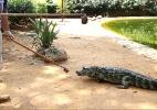Jacarés fazem fila para comer no zoológico de São Paulo; assista