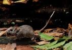Cientistas descobrem nova espécie de roedor em Minas Gerais; saiba mais
