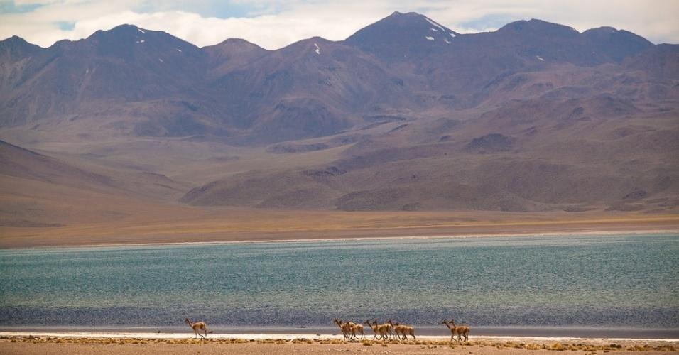 Vista da fauna nas lagoas altiplânicas de Miscanti e Meñiques, no Chile
